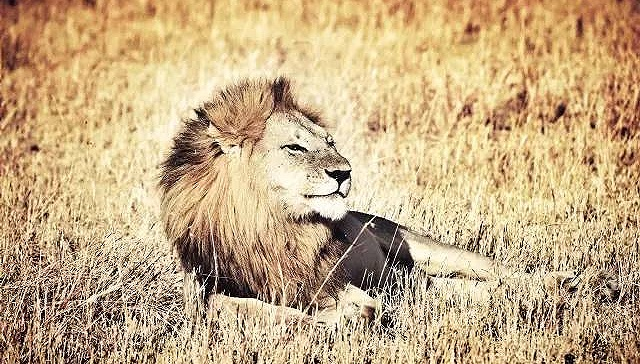 [界面新闻]去坦桑尼亚看狮子 这集傲娇和呆萌于一身的王者!