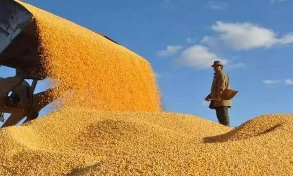 [需求]两天,玉米收购价每吨降80元!这玉米还怎么卖?!-行业动态即时报