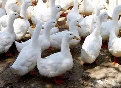 [需求]养鸭有感:绝了!-行业动态即时报