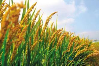 [需求]10月16日,玉米、大豆、小麦、水稻、油脂全国最新价格行情!-农林牧渔事事通