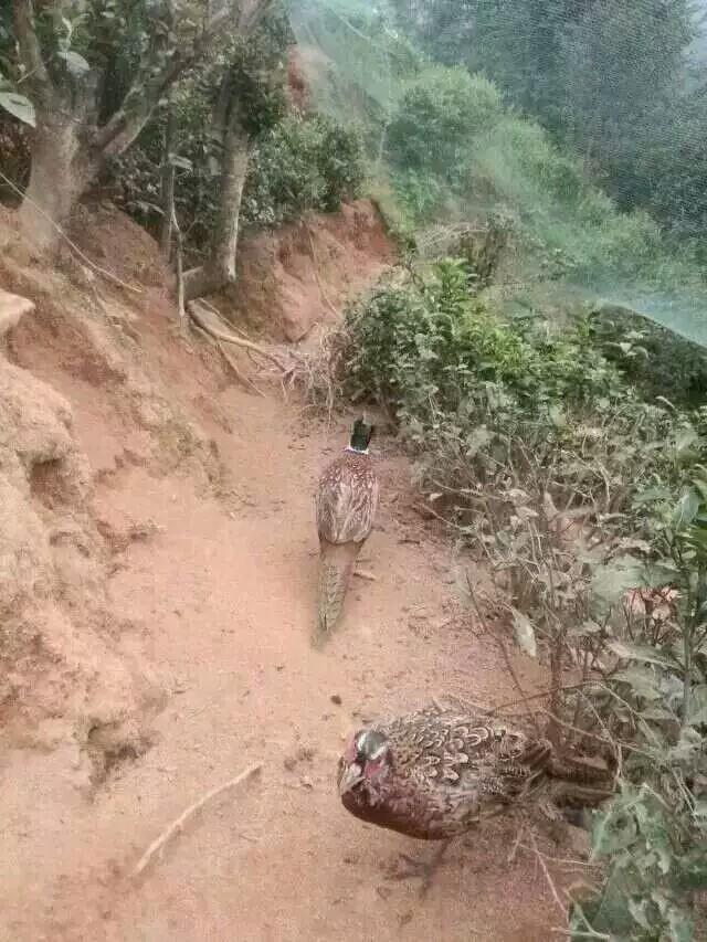 来自江**发布的供应信息: 江西龍興珍禽养殖基地出售大量放... - 龍興珍禽养殖基地